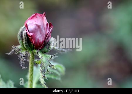 Rose pourpre simple coquelicot papaver bud dans les premières étapes de l'ouverture de feuillage vert. Fond pâle. Banque D'Images