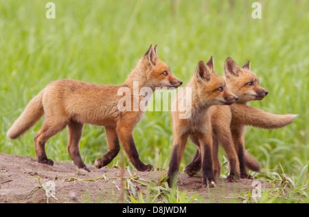 Trois oursons red fox (Vulpes vulpes) à la recherche de canards. Banque D'Images