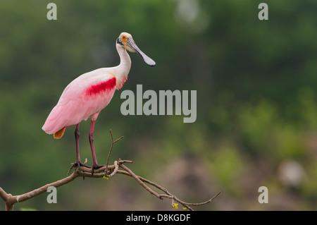 Une Spatule rosée (Platalea ajaja) pose sur une branche, l'île haute, Texas Banque D'Images