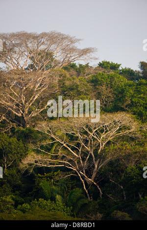 Dans la forêt tropicale du parc national de Soberania, République du Panama. Banque D'Images