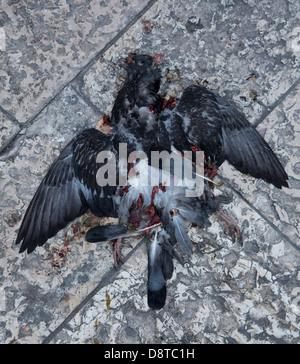 Pigeon mort sur la chaussée, vieille ville, Bari, Pouilles, Italie Banque D'Images
