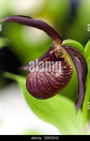 Close-up of a cypripedium, violet lady-slipper orchid avec un fond vert Banque D'Images