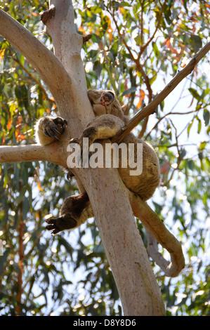 Le Koala marsupial Australien dans l'arbre en arbre ours endormi Banque D'Images
