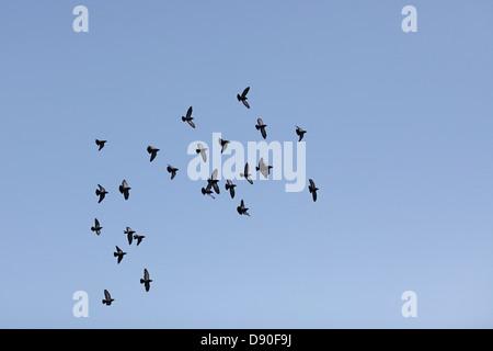 Les pigeons voler dans un ciel bleu Banque D'Images