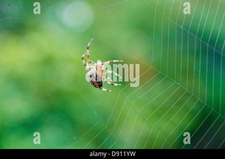 Orb-Web Jardin araignée au travail Banque D'Images