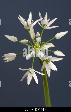 L'ail des ours ou Allium ursinum, ramsons, fleur et fleurs blanches Banque D'Images