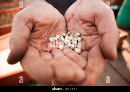 Jardinage - un homme tient dans ses mains les graines de légumes Banque D'Images