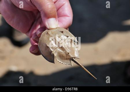 Tenant un petit naturaliste limule shell Banque D'Images