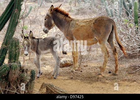 Mère et son bébé âne debout dans les buissons de cactus, Punta Gallinas, la péninsule Guajira, Colombie, Amérique Banque D'Images