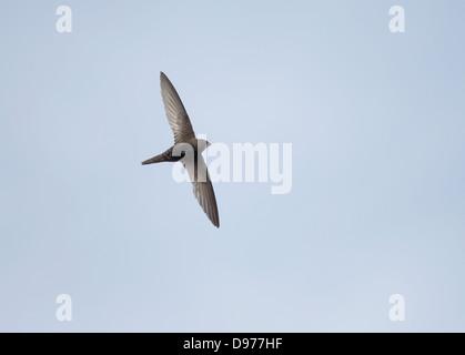 Swift Apus apus commune en juin soir vol Banque D'Images