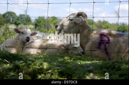 Mère avec son bébé moutons Agneaux allongé par un grillage dans un champ, Suffolk, Angleterre Banque D'Images