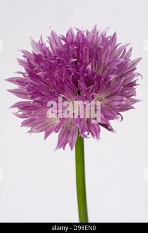 Une fleur rose de ciboulette, Allium schoenoprasum, d'une cuisine l'herbe de la famille des oignons Banque D'Images