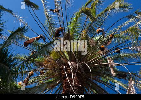 Un groupe de renard volant à tête grise (Pteropus poliocephalus) les megachiroptères suspendue à un arbre, les Royal Banque D'Images