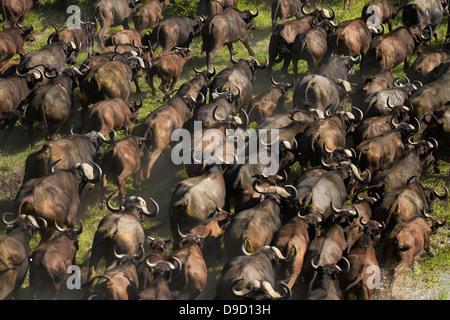 Buffle (Syncerus caffer caffer), Okavango Delta, Botswana, Afrique du Sud - vue aérienne Banque D'Images