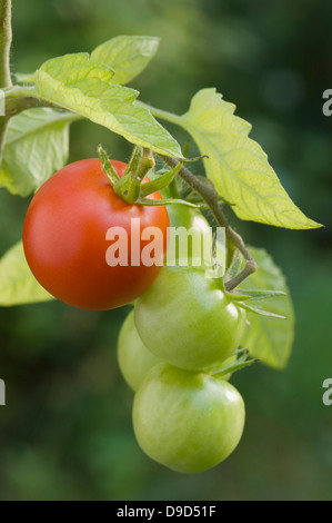 Germany, Bavaria, Vert et Rouge tomate sur branch, Close up Banque D'Images