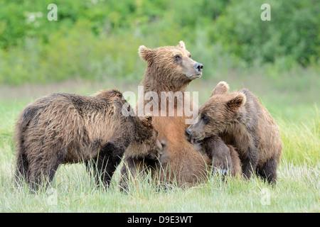 Mère de l'ours grizzli se nourrir ses deux petits. Banque D'Images