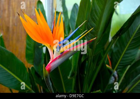 Oiseau de paradis tropical flower (Strelitzia). Banque D'Images