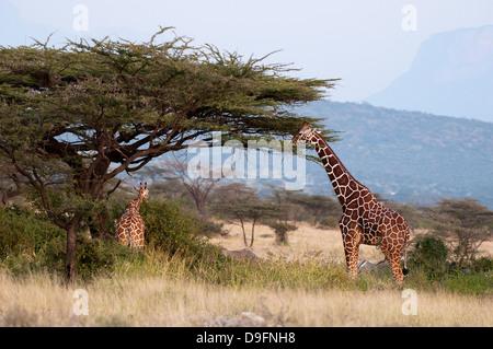 Les Masais Girafe (Giraffa camelopardalis), Samburu National Reserve, Kenya, Afrique de l'Est, l'Afrique Banque D'Images