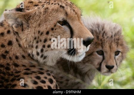 Cheetah (Acynonix jubatus) et cub, Masai Mara National Reserve, Kenya, Afrique de l'Est, l'Afrique Banque D'Images