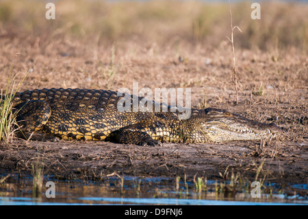 Le crocodile du Nil (Crocodylus niloticus), Chobe National Park, Botswana, Africa Banque D'Images