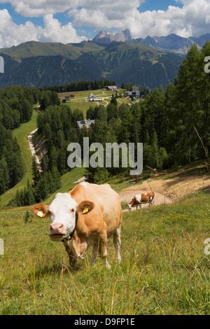Vaches qui paissent près de la montagnes Rosengarten dans les dolomites près de Canazei, Trentino-Alto Adige, Italie Banque D'Images