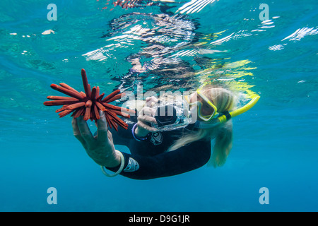 Snorkeler taking photo de sous-marins d'oursins au large de Maui, Hawaii, United States of America Banque D'Images