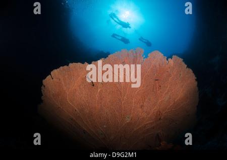 Silhouette de trois plongeurs sous-marin géant au-dessus du ventilateur (Annella mollis), Parc National Ras Mohammed, Banque D'Images
