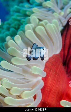 Sur place trois poissons demoiselles, anémone magnifique close-up, parc national Ras Mohammed, Sinai, Red Sea, Egypt, Banque D'Images