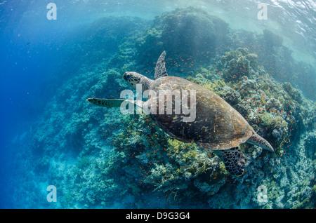 La tortue imbriquée en danger critique au-dessus de coraux, parc national Ras Mohammed, Sinai, Red Sea, Egypt, Africa Banque D'Images