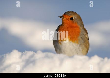 Erithacus rubecula aux abords, Robin, Rotkehlchen, Hiver Banque D'Images