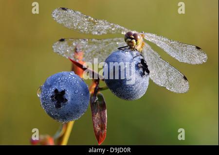 Sympetrum danae, dard noir, noir Meadowhawk, dragon fly, Schwarze, Segellibelle Heidelibelle