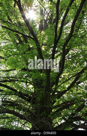 Arbre branche branches vert soleil jusqu'haut été printemps feuille feuilles Banque D'Images