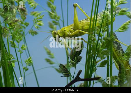 Criquet pèlerin (Schistocerca gregaria)