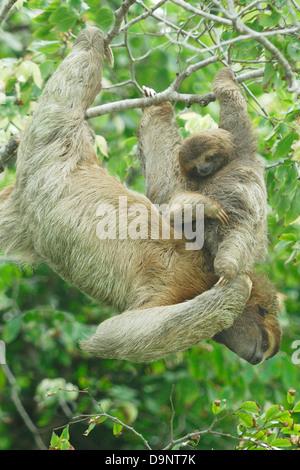 La mère et l'enfant paresseux tridactyle (Bradypus variegatus) Banque D'Images