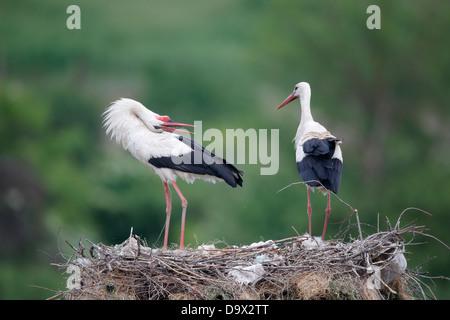Cigogne blanche, Ciconia ciconia, deux oiseaux sur le nid, Bulgarie, mai 2013 Banque D'Images