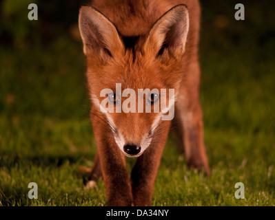 Fox cun jusqu'fermer Banque D'Images