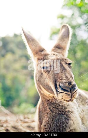 Sleepy grand kangourou rouge portrait - Macropus rufus Banque D'Images