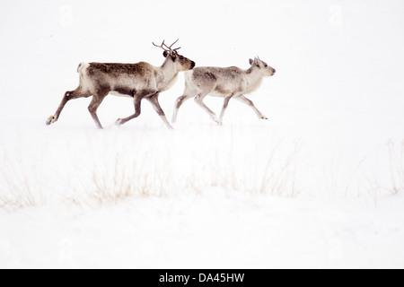 Le renne (Rangifer tarandus) et adultes chez des veaux domestiqués mais s'exécutant sur île de Varanger neige Norvège Banque D'Images