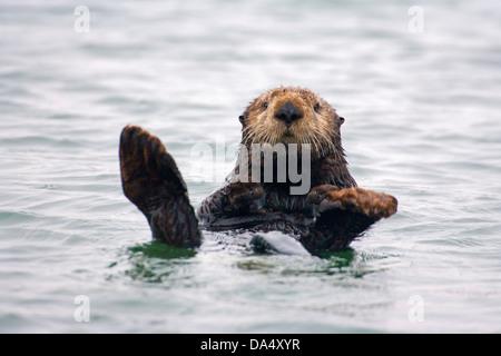 Loutre de mer (Enhydra lutris) La baie de Monterey, Californie, États-Unis 24 juin des profils des Mustelidae Banque D'Images