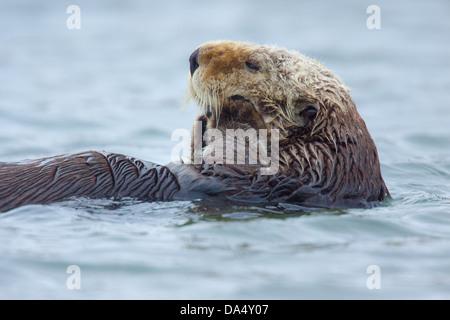Loutre de mer (Enhydra lutris) Moss Landing, California, United States 24 juin des profils des Mustelidae Banque D'Images