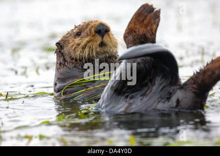 Loutre de mer (Enhydra lutris) Moss Landing, California, United States 24 juin des profils enveloppés de zostères. Banque D'Images