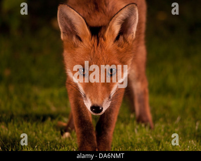 Fox cub jusqu'fermer Banque D'Images