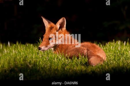 Red Fox cub dans jardin Banque D'Images