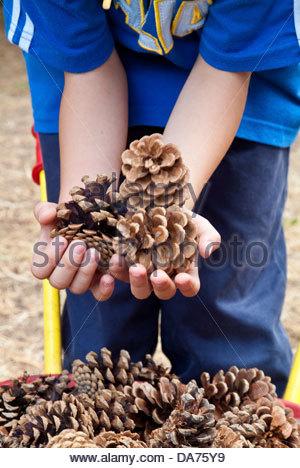 La collecte de l'enfant des pommes de pin Banque D'Images
