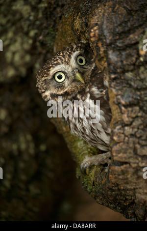 Chouette chevêche (Athene noctua) sur le site de nid en tronc d'arbre