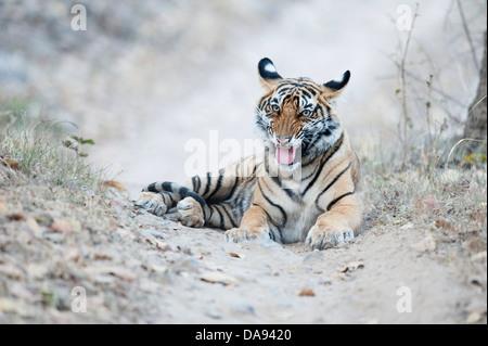 Jeune mâle Bengal Tiger Cub, Inde Banque D'Images