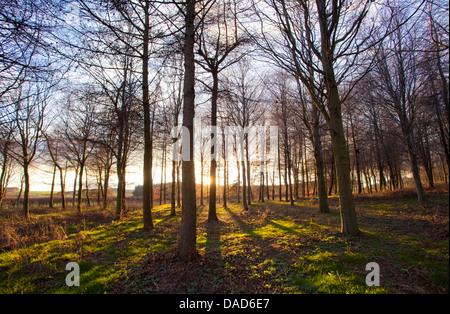Bois d'hiver par le contre-jour fin d'après-midi, Longhoughton, près de Alnwick, Northumberland, Angleterre, Royaume-Uni, Europe