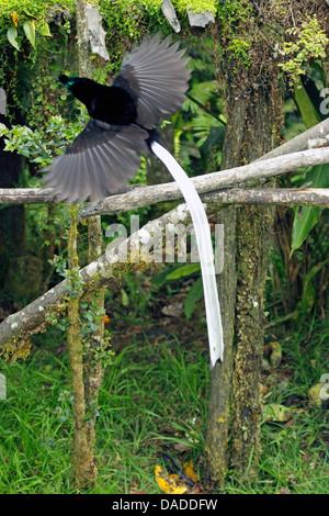 À queue ruban oiseau du paradis (Astrapia mayeri), homme battant, la Papouasie-Nouvelle-Guinée, l'ouest des Highlands Banque D'Images