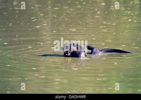 La loutre néotropicale néotropicale, la loutre de rivière (Lontra longicaudis), l'alimentation des poissons dans une piscine boueuse, Brésil, Mato Grosso, Pantanal