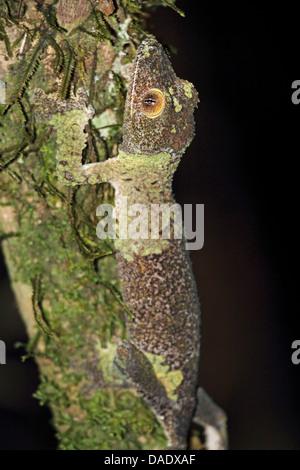 Gecko à queue de feuille moussus (Uroplatus sikorae), assis sur une branche, Madagascar, Toamasina, Parc National Mantadia Andasibe Banque D'Images